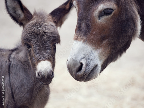 Tuinposter Ezel Baby donkey mule with its mother