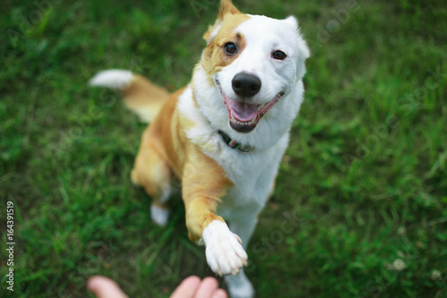 Obraz Friendly smart dog giving his paw close up - fototapety do salonu