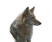Coyote Portrait , Close Up