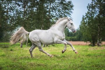 Beautiful lipizzaner stallion running on the field