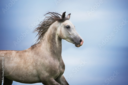 Fototapeta Portrait of beautiful arabian horse obraz