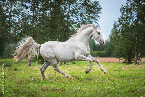 Beautiful lipizzaner stallion running on the field