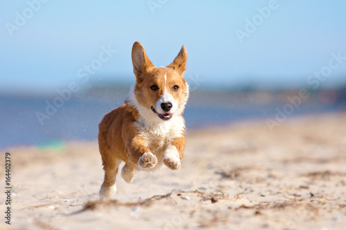 Running welsh corgi pembroke and cardigan sea, forest Wallpaper Mural