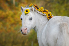 Beautiful White Shetland Pony ...