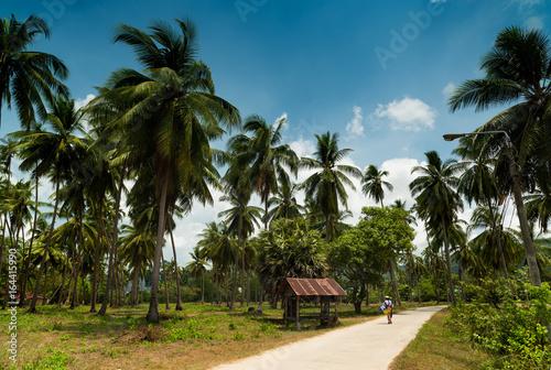 Fototapeta Walking in a coconut field