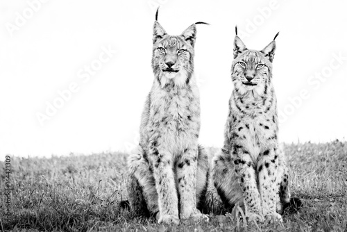 Two lynx sitting on grass in mono