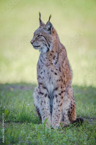 Fototapeta premium Lynx sits on shady grass looking sideways
