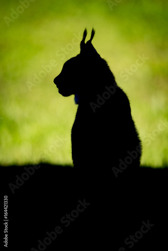 Poster Lynx Silhouette of lynx on grass in profile