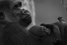 Mono Gorilla Baby On Arm Of Mother