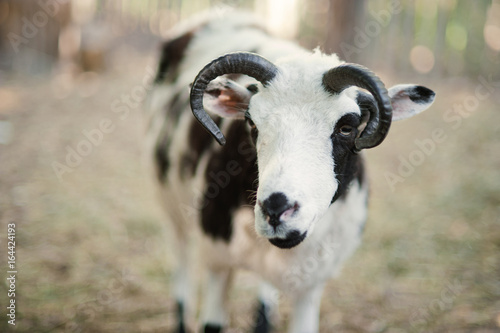 Staande foto Lama The sheep with four horns Jacob breed