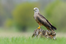On The Meadow/Black Kite