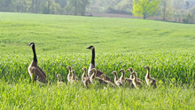Pair Of Canada Geese And Their Young Walking Through Farmer's Field