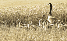Canada Goose And Her Goslings ...