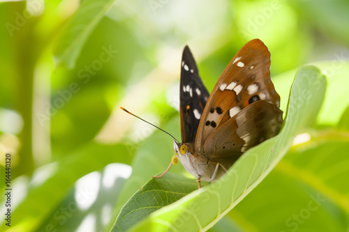 Fototapeta Butterfly macro view. Brown winged pattern insect on greenery leaf background, macro view shallow depth field