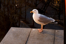Curious Seagull Looks At The C...