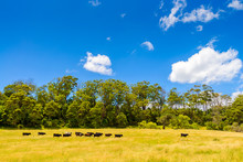 Farmland With Grazing Dairy Cows