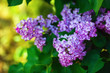 Photo of blooming lilac flowers and green leaves in the garden. Shallow depth of field. Selective focus.