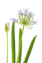 """Agapanthus Flower """"Lily Of The Nile"""" Are Blooming Which Attached Bud And Leaves, Isolated On White Background"""