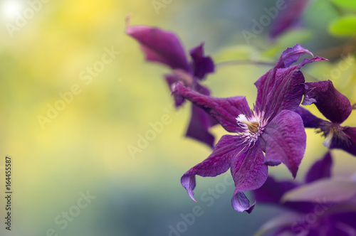 Photo Many large purple clematis flowers on a background of green