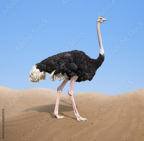 Foto op Canvas Struisvogel ostrich in desert