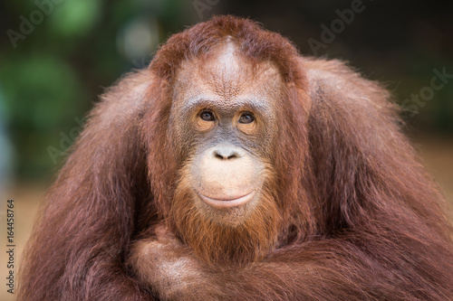 Spoed Foto op Canvas Aap Portrait smiling Orangutans sit for the photographer take a picture.