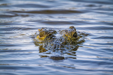 Nile Crocodile In Kruger Natio...