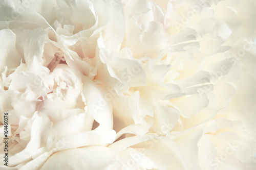 Bouquet of beautiful peony flowers, closeup