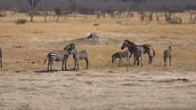 Some Zebras In Hwange National Park (Zimbabwe)