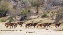 Sable Antelope In Kruger Natio...