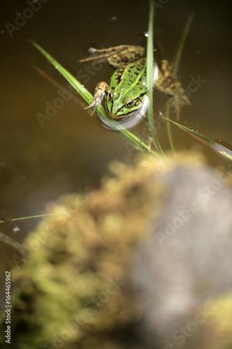 Fotografie, Obraz  mała zielona żaba w oczku wodnym