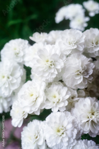 flower gypsophila, white buds #164473300