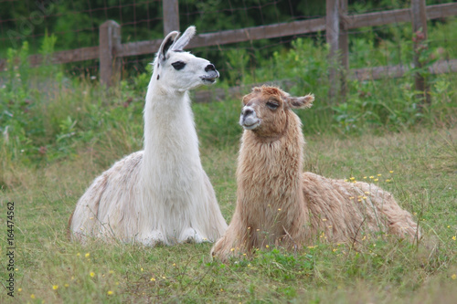 Deurstickers Lama alpaca lama lying down in field meadow farm agriculture livestock mammal