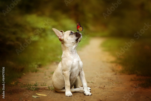 Poster Bouledogue français puppy with a butterfly on nose