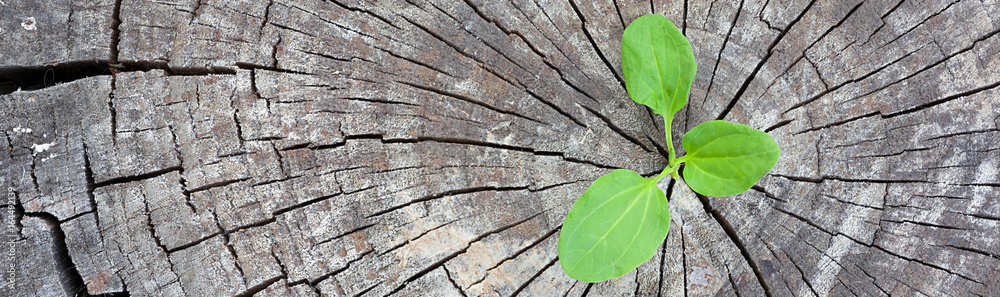 Fototapeta Ecology concept. Rising sprout plantain of old wood and symbolizes the struggle for a new life, border design panoramic banner.