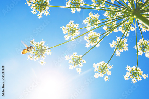Cow parsley flower from below with a flowerfly and blue sky behind. Wideangle