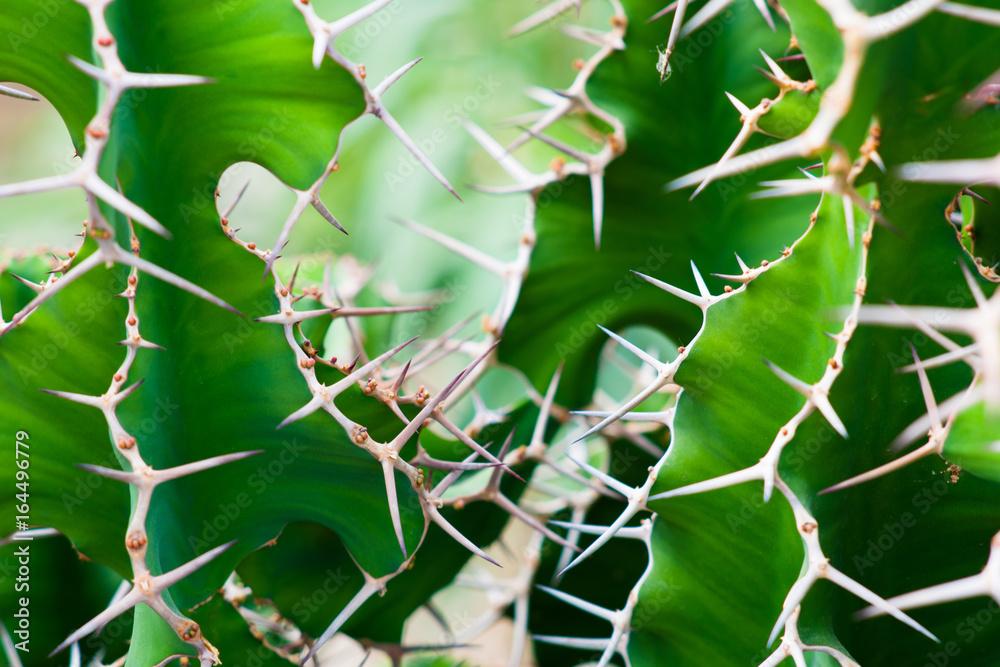 Fototapety, obrazy: kolce na zielonym kaktusie tlo