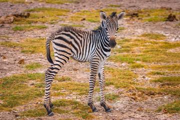 Fototapeta na wymiar Young zebra. Africa
