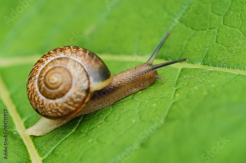 Beautiful brown snail on green leaves