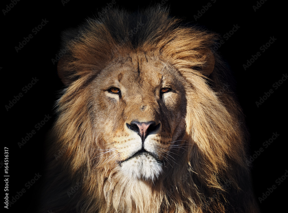 Fototapeta Lion great looking at camera isolated at black