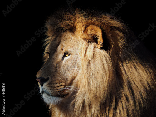 Fotobehang Leeuw Lion great king at the dark background view from left isolated at black