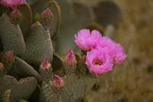 Pink Cactus Flower Blossoms