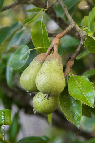 bartlett pear Wallpaper Mural