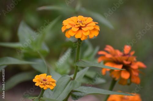 Poster Dahlia Flowers