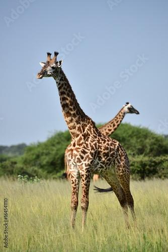 Photo  giraffe in natural habitat in African natural park