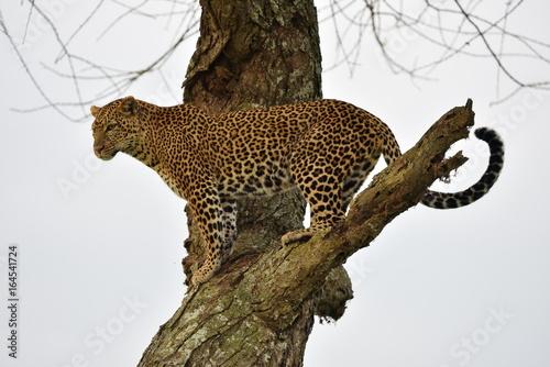 Keuken foto achterwand Luipaard The leopard (Panthera pardus) in natural habitat