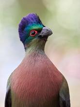 Portrait Of Purple-crested Turaco (Tauraco Porphyreolophus)