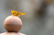 Silver Tainted Fritillary Butterfly On Ball Iii