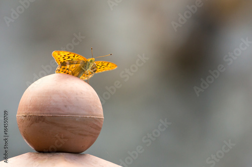 Fotografie, Obraz  silver tainted fritillary butterfly on ball iii
