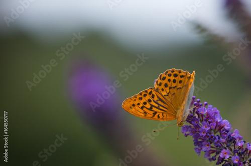 Fotografie, Obraz  silver tainted fritillary butterfly on buddleia v