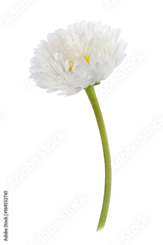 In de dag Madeliefjes Daisy flower isolated on a white